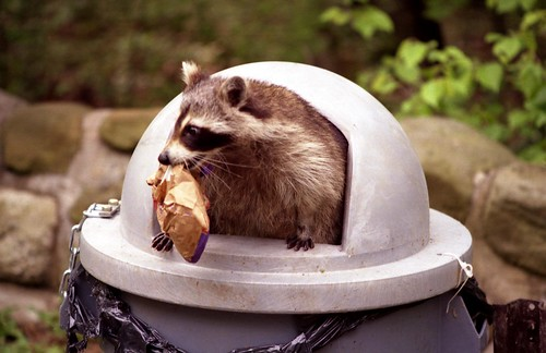 Raccoon in Garbage Can | by lightpro300@sbcglobal.net