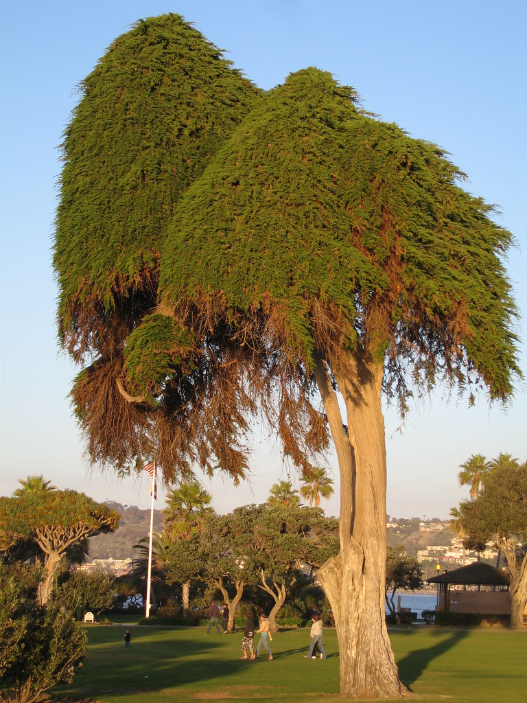Dr Seuss Tree In La Jolla California In This Park Is