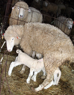 Thin ewe with twins | by baalands
