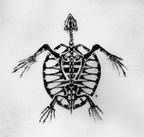 Turtle Skeleton Contact 6 Quot By 6 Quot One Of A Kind Print