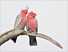 Galahs - sitting for their portrait | by aaardvaark