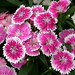 #8237 unknown Dianthus (ナデシコ)