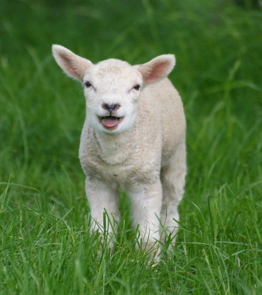 Lambs - Baby Sheep - a gallery on Flickr for baby lamb in spring  111ane