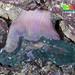 Neon sea anemone