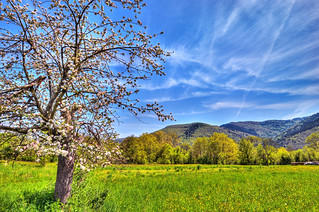 Blooming apple tree HDR | by Tambako the Jaguar