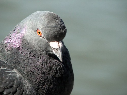 Rock Dove | by Just chaos