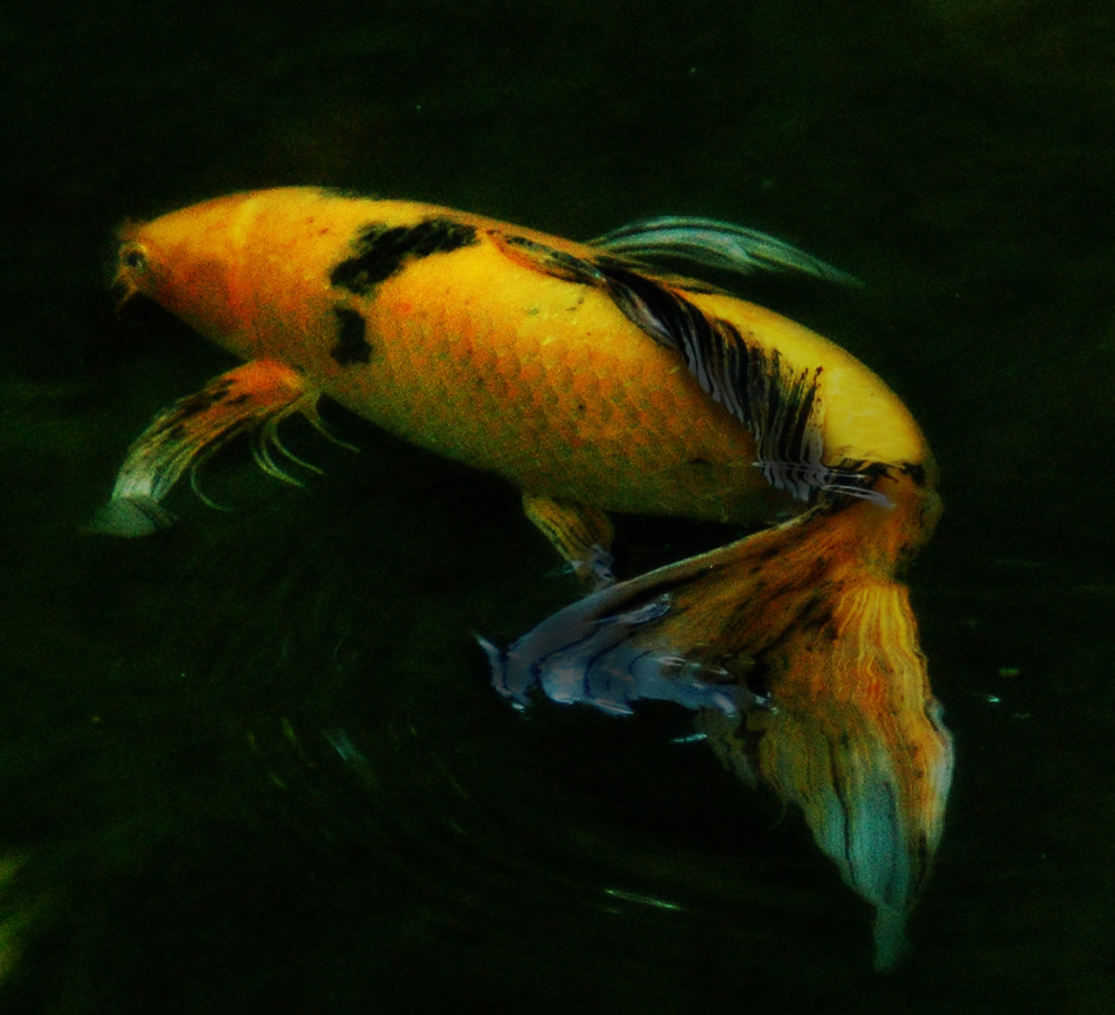 Koi fish with flourishes our wonderful friends literally for Live koi fish