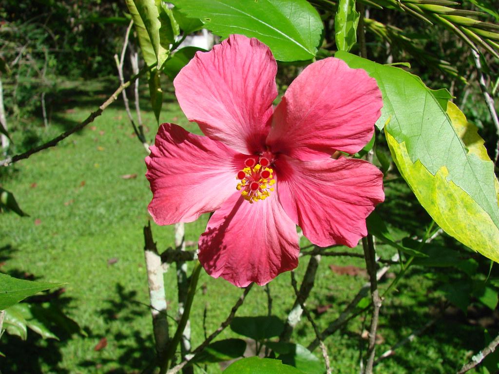 Cayena fucsia hibiscus rosa sinensis historia de la - Comment entretenir un hibiscus ...