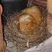 Guinea Pig Guarding its Eggs