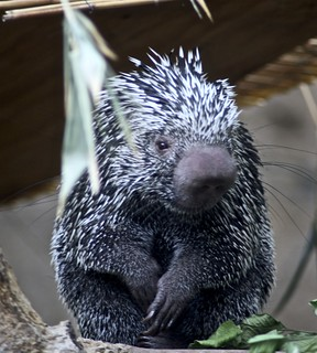 prehensile tailed porcupine | by Just chaos
