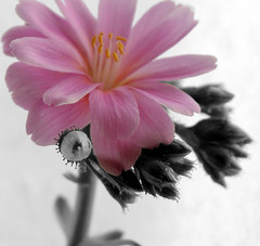 Pink flower May07 | by Samantha Nicol Art Photography