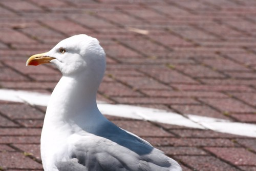 Herring Gull | by rosewoodoil
