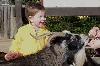Brushing a goat at the SF Zoo | by mradwin