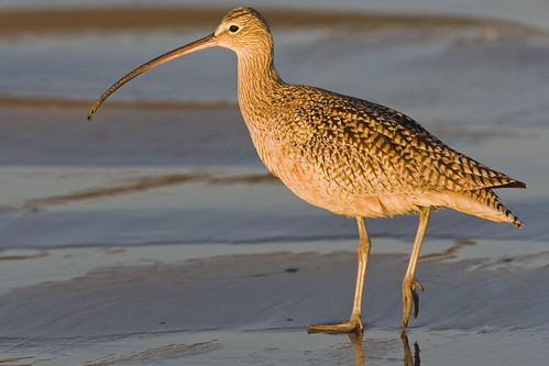 Long-billed Curlew (Numenius americanus), in late evening light | by mikebaird