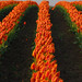 Orange Rows of Tulips