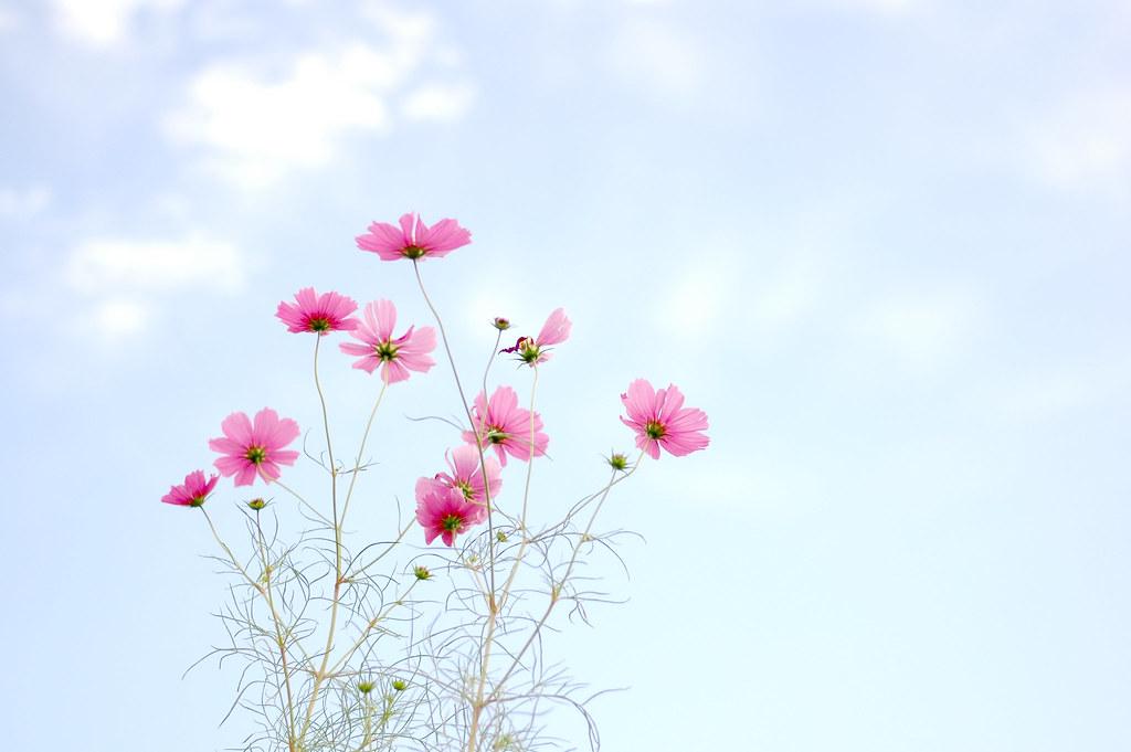 I miss cosmos flowers | yoshiko314 | Flickr