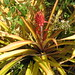 Ananas bracteatus