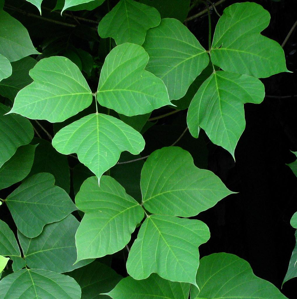 Kudzu leaves | 3 sets of 3. Of course kudzu is usually ...  Kudzu leaves | ...
