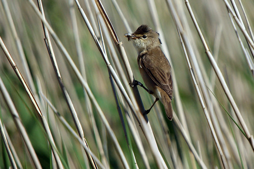 Reed Warbler, Leighton Moss RSPB, June 2011 | by Gidzy
