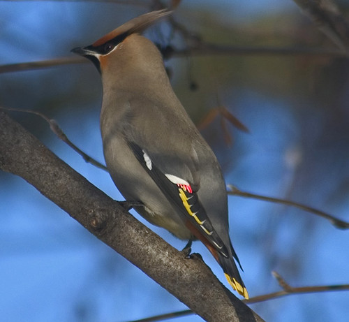 Waxwings (Family Bombycillidae)