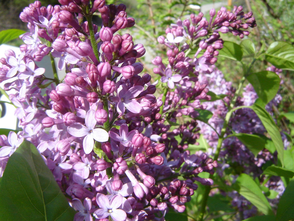 Old Fashioned Lilac Growth Rate