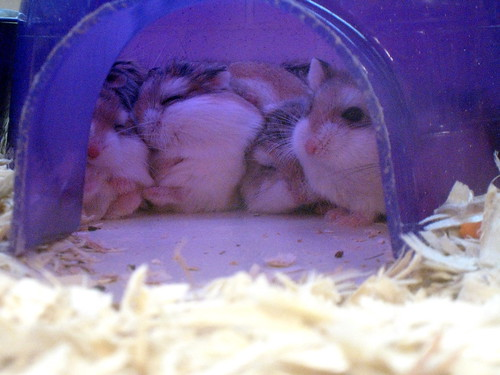 The gallery for --> Robo Dwarf Hamster Sleeping