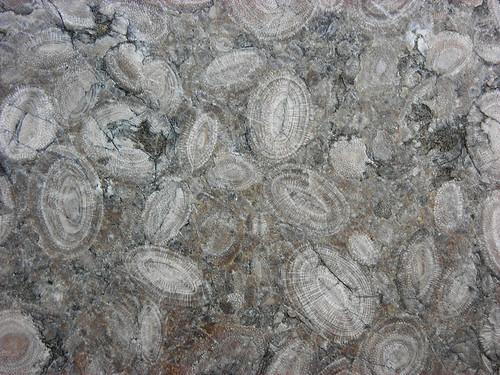 Foraminifera in... Foraminiferal