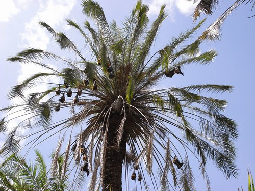 how to get rid of flying foxes in trees