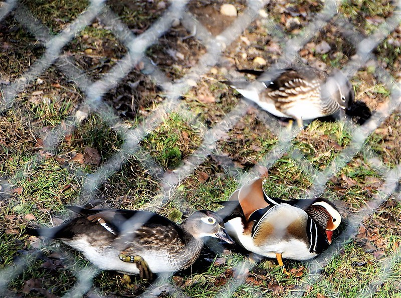 Ducks 12.02 (2)
