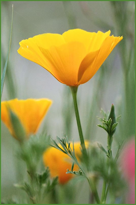 California poppy thank you for your comments takako - Yellow poppy flower meaning ...