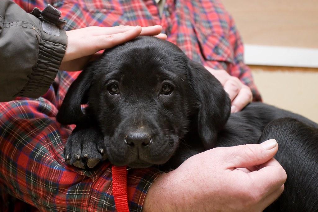 Lab Puppy Weight Chart: Black lab puppy Scout | Friends brought a black lab puppy hu2026 | Flickr,Chart