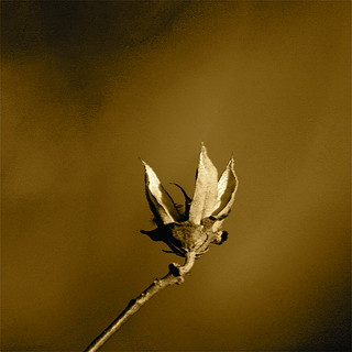 Sepia Seed Pod | by mightyquinninwky