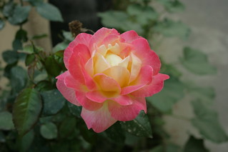 Pink Rose 4 | by Swami Stream