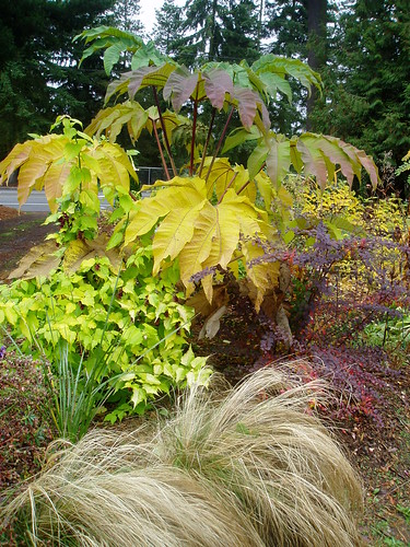 Late Fall Tetrapanax Berberis Leycesteria and Stipa | by RHR Horticulture
