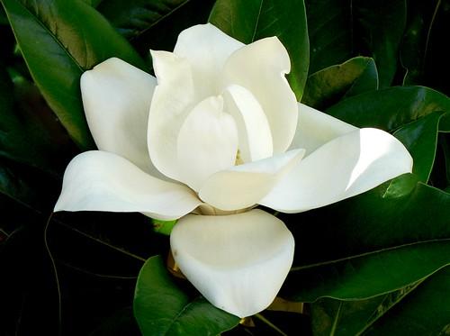 australia perth magnolia grandiflora