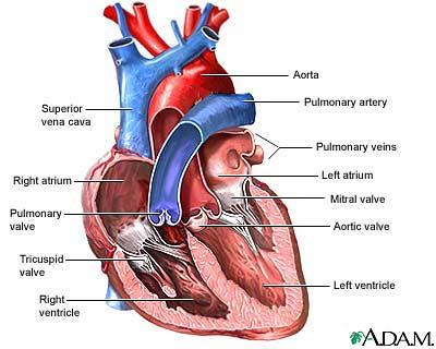Heart diagram nlmhmedlineplusencyimagesency flickr heart diagram by brentzupp heart diagram by brentzupp ccuart Images