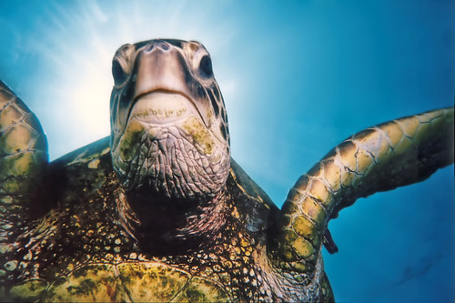 Tripod, the Green Sea Turtle | by motleypixel