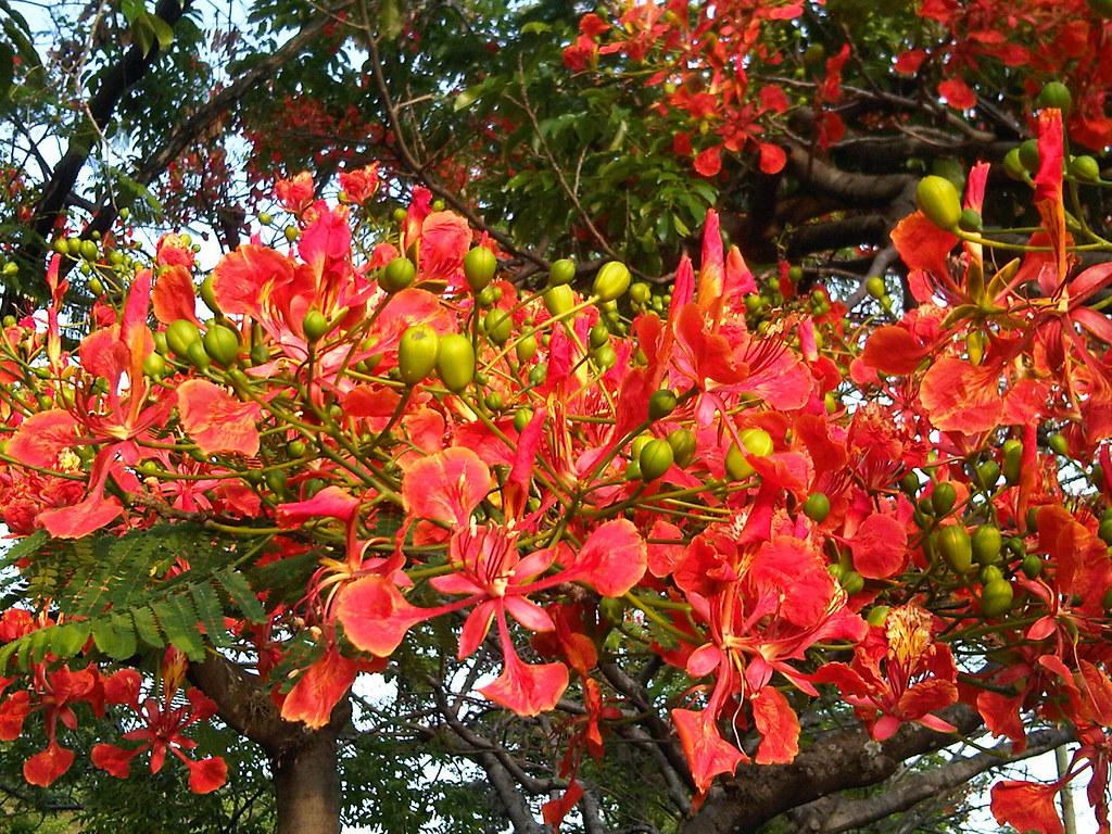 Flamboy n flamboyant rbol de la llama ponciana deloni for Arbol del fuego jardin