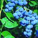 Organic Blueberries at Cascadian Farm