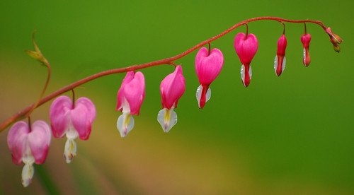 My mom's bleeding heart flower | by ronnie44052
