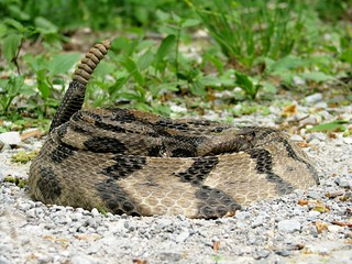 Timber Rattlesnake | by Todd McKinney