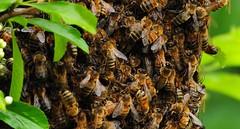 20110529 Bee Swarm-3