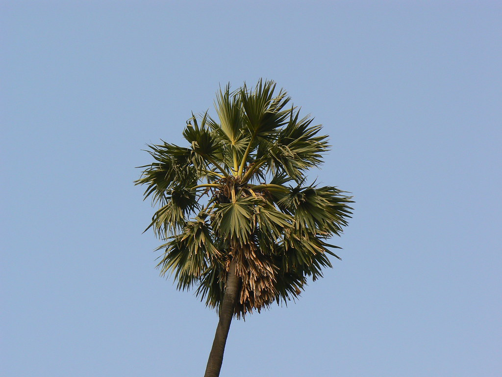 Image Result For Date Palm Tree