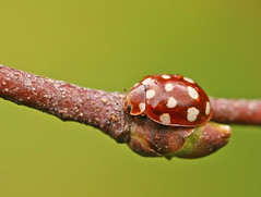 Cream-spot ladybird | by nutmeg66