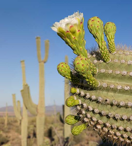 Saguaro Cactus Buds and Flower | We've been having some ...