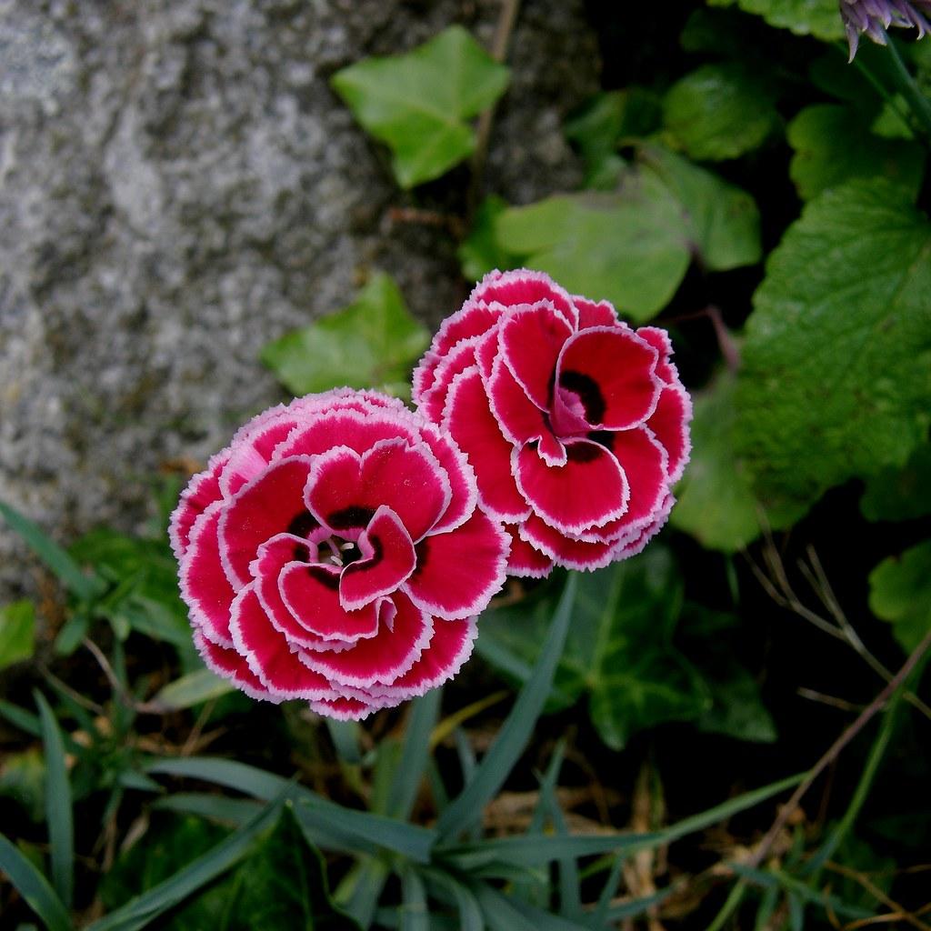 Illetons petits illets de mon jardin small carnations for Mon jardin 3d