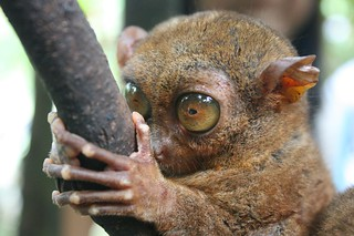 Tarsier | by roxj