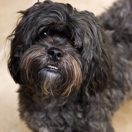 Bruizer Shih Tzu Mix Bruizer Is Just Over A Year Old He Flickr