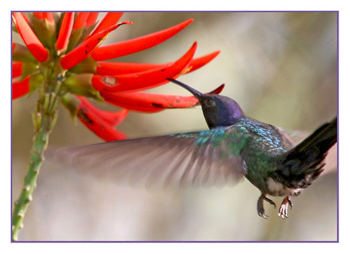 Tesourao/Swallow-tailed Hummingbird | by margot_k_castro