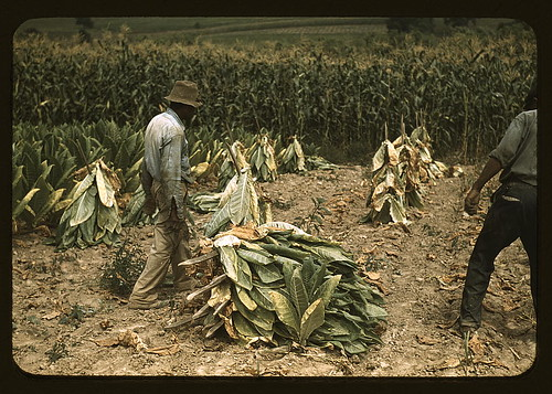 Cutting Burley Tobacco And Putting It On Sticks To Wilt Be